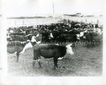 Image of PC046 Cattle in pens