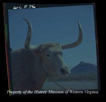 Image of Bull.