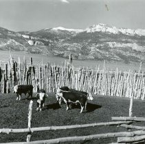 Image of UNRS-P2270-34 - Caption on image: Modern Hereford bulls in an old cedar-post corral at Swallows' ranch, Shoshone, White Pine County, Nevada. This corral was originally built for trapping wild horses. The west side of the southern section of the Snake Creek range of mountains is shown in the background.