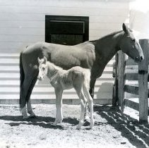 Image of UNRS-P1985-08-00015 - Photograph of Washoe Valley - Horse and foal (neg. 4x5) Folder 193.