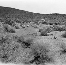 Image of UNRS-P2000-06-1030 - On the road to Aurora, 1920. [Sheep]