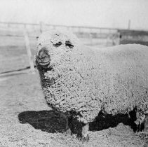 Image of UNRA-P482-208 - One sheep is photographed alone in a pen.
