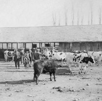 Image of UNRA-P482-218 - Dairy cows and several men in suits are photographed in front of cow pens.