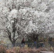 Image of UNRA-P3600-01418 - Large trees blooming along the tram at Manzanita Lake in spring 2007.