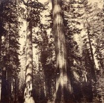 Image of UNRS-P1362-1 - Photograph of forest showing tall pine or fir trees. Caption on image: Big Trees--Andrew Johnson, and William Cullen Bryant, Mammoth Grove