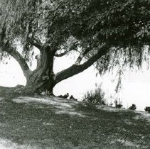 Image of UNRA-P1075-06 - Ducks along the bank of Manzanita Lake (1960s)