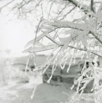 Image of UNRA-P1077-43 - Photograph of ice-coated branches.