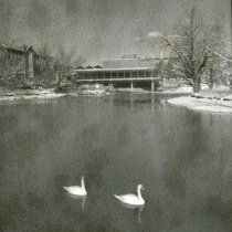 Image of UNRA-P1077-47 - Photograph of two white swans swimming in Manzanita Lake, with the Jot Travis Student Union in the background (1949)