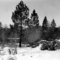 "Image of UNRS-P2008-18-0057 - [Lake Tahoe Photographic Shore Line Survey]. November 19, 1930. Taken from Standard Oil Company's pier at Tahoe City about 25 feet out from old Indian basketry house looking south fifty degrees west, showing two pine trees (of diameters 24"" and 15"") growing on low ground to the northeast of the Truckee River outlet. The elevation of the base of the 24"" tree is 6230.0 feet and of the 15"" tree is 6229.6 feet. But they are growing from the side of a narrow ridge as shown in the picture so that a lake level much lower would thoroughly would thoroughly soak the roots."