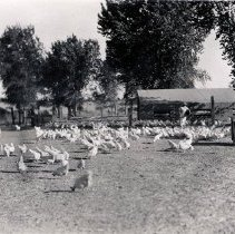 Image of UNRS-P2008-18-0343 - Farm animals. [Chickens].