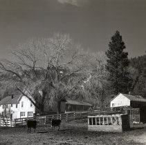 Image of UNRS-P1985-08-00030 - Numbers 30 and 31. Folder 193. Two prints: Washoe Valley - Cows (neg. 4x5)
