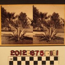 """Image of 2012.675.1.1 - """"Century Plant, Fan Palm, Rubber Tree & Pampas Grass"""""""