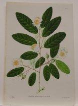 Image of Passiflora Sphaerocarpa - Print