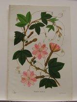 Image of Passiflora Mixta - Print