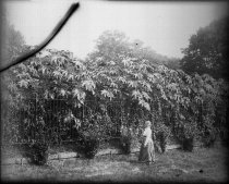 Image of GN of Lydia in Hollyhocks  1910 - 1987.1.6GN