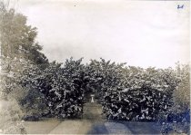 Image of Hedge and Fountain circa 1913 - 2004.1.394