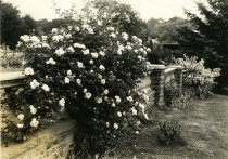 Image of Roses  1930s - 2004.1.456
