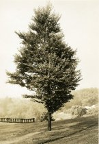 Image of Katsura Tree in English Park - 2004.1.487