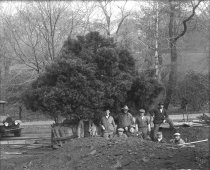 Image of Men Planting the Juniper Bush  circa 1910 - 2004.1.540GN