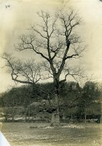 Image of Chestnut Tree in English Park