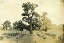 Image of Chestnut Tree in English Park  1911 - 2004.1.580