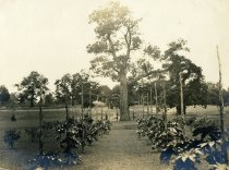 Image of Chestnut Tree Allee in English Park  bef 1911 - 2004.1.581