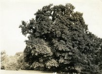 Image of Chinese Elm  circa 1934 - 2004.1.592