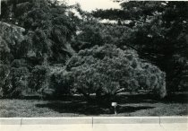 Image of Trees near Swan Pond  1934 - 2004.1.593