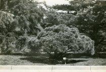 Image of Shrub Near Swan Pond  circa 1934 - 2004.1.594