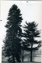 Image of Trees at Top of Hill Looking Toward Bloomfield Farm  1971 - 2004.1.619