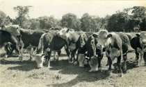 Image of Herd of Cows in Meadow  circa 1945 - 2004.1.620