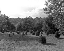 Image of Boxwood Plantings  1955 - 2004.1.666N