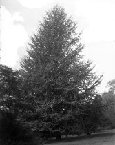 Image of Trees at Compton: Cedrus atlantica  1900-1915 - 2004.1.858GN