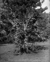 Image of Pyracantha lalandei  1900-1915 - 2004.1.861GN