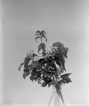 Image of Euonymus pateri  1900-1915 - 2004.1.862GN