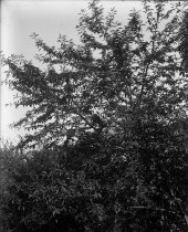 Image of Ilex decidua  1900-1915 - 2004.1.863GN
