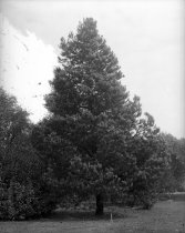 Image of Pinus monophylla  1900-1915 - 2004.1.864GN