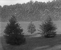 Image of Trees at Compton: Two Cedrus and a Sequoia  1900-1915 - 2004.1.866GN