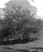 Image of Trees at Compton: Crataegus coccinea or Scarlett Hawthorne 1900-1915 - 2004.1.867GN