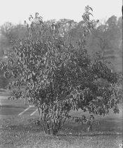 Image of Trees at Compton: Viburnum willsonii - 2004.1.868GN
