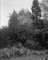 Image of Lonicera, Kochiana, Cryptomaria  circa 1900 - 2004.1.876GN