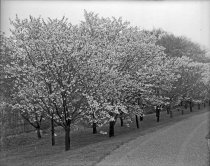 Image of Double Flowered Cherry Trees at Compton - 2004.1.877GN