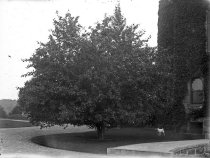Image of Tree and Dog at Compton  circa 1900 - 2004.1.879GN