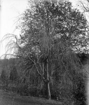Image of Trees at Compton  ca.1934 - 2004.1.880GN