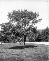 Image of Kolruteria Tree at Compton - 2004.1.884GN