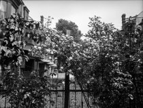 Image of Rose Bushes in Yard of Dr. Wm. Stewart on Cedar Avenue  1920 - 2011.6.116