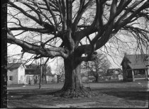 Image of Big Beech, Glenolden, PA  1923 - 2011.6.15