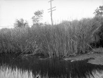 Image of Reeds along the South Shore of the Shark River  Wed., August 26, 1920 - 2011.6.210