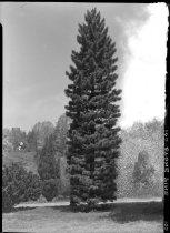 Image of Pinus cembra columnaris (Swiss Stone Pine)  1937 - 2011.8.100