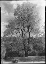 Image of Halesia Diptera (?)  1937  (Snowdrop Tree) - 2011.8.11